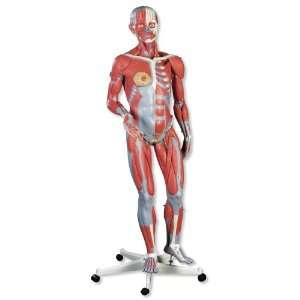 3B Scientific Female Muscle Figure: Health & Personal Care