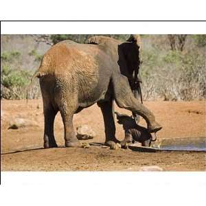African Elephant   female / cow rescuing her very young calf which has