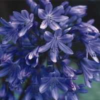 AGAPANTHUS HEADBOURNE HYBRIDS SEEDS x 1 packet