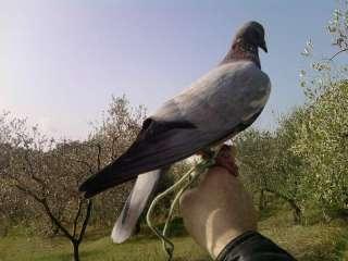 Piccioni per la caccia al colombaccio a Livorno    Annunci